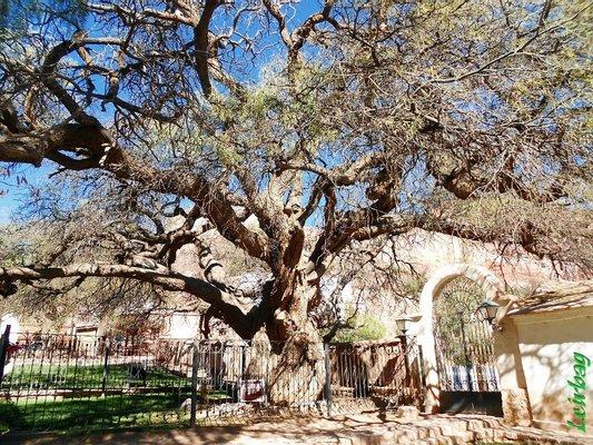 Algarrobo Histórico