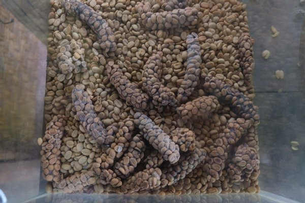 Agrowisata kopi luwak satria