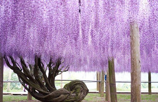 Kawachi Wisteria Garden
