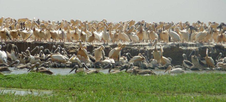 Oiseaux de Djoudj National Park