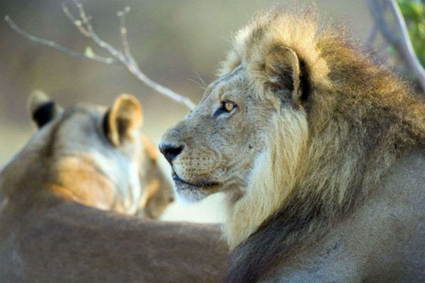Silvassa Vasona Lion Safari