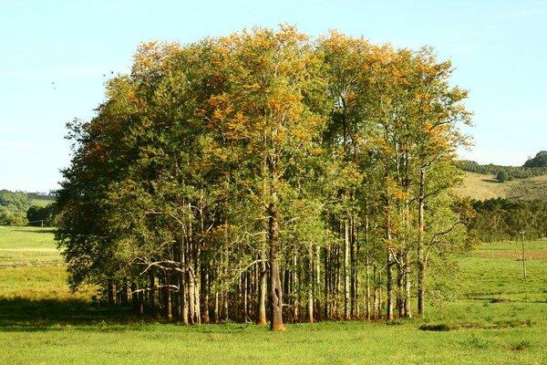 Grove of grevillea trees