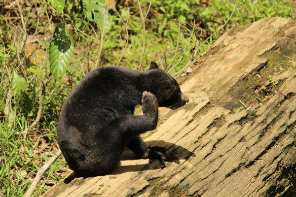 Bornean Sun Bear Conservation Centre (BSBCC)