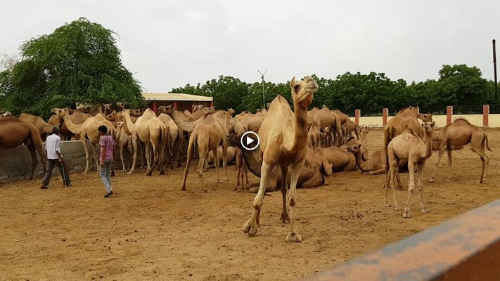 ICAR-National Research Centre on Camel