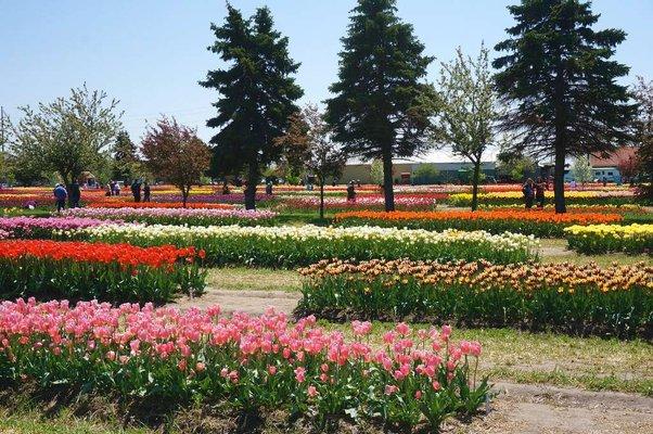 Veldheer Tulip Gardens